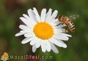 Kibirli Arı ve Üzgün Papatya