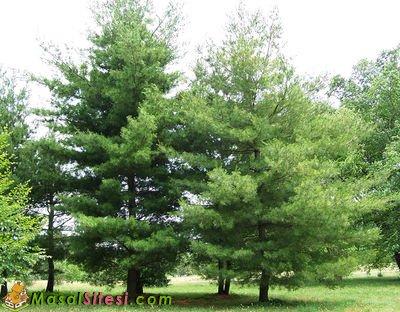 Çam Ağacının Yaprakları