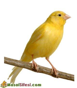 Sarı Kanarya